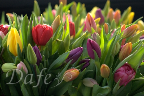 kolorowe_tulipany_wroclaw