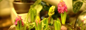wiosna_hiacynt_2